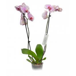 Orchidea phalenopsis - Ø květináče 12cm
